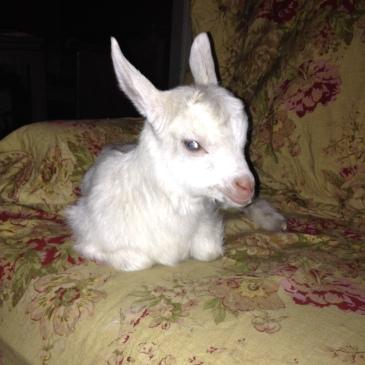 goat breeds – Farmgirl School