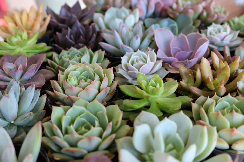 rosette-succulent-favors-wedding-succulents-bulk_4_2000x